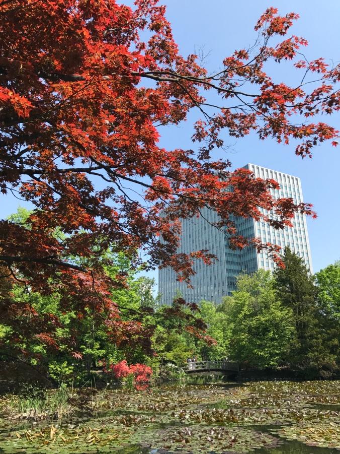 Maple in Japan